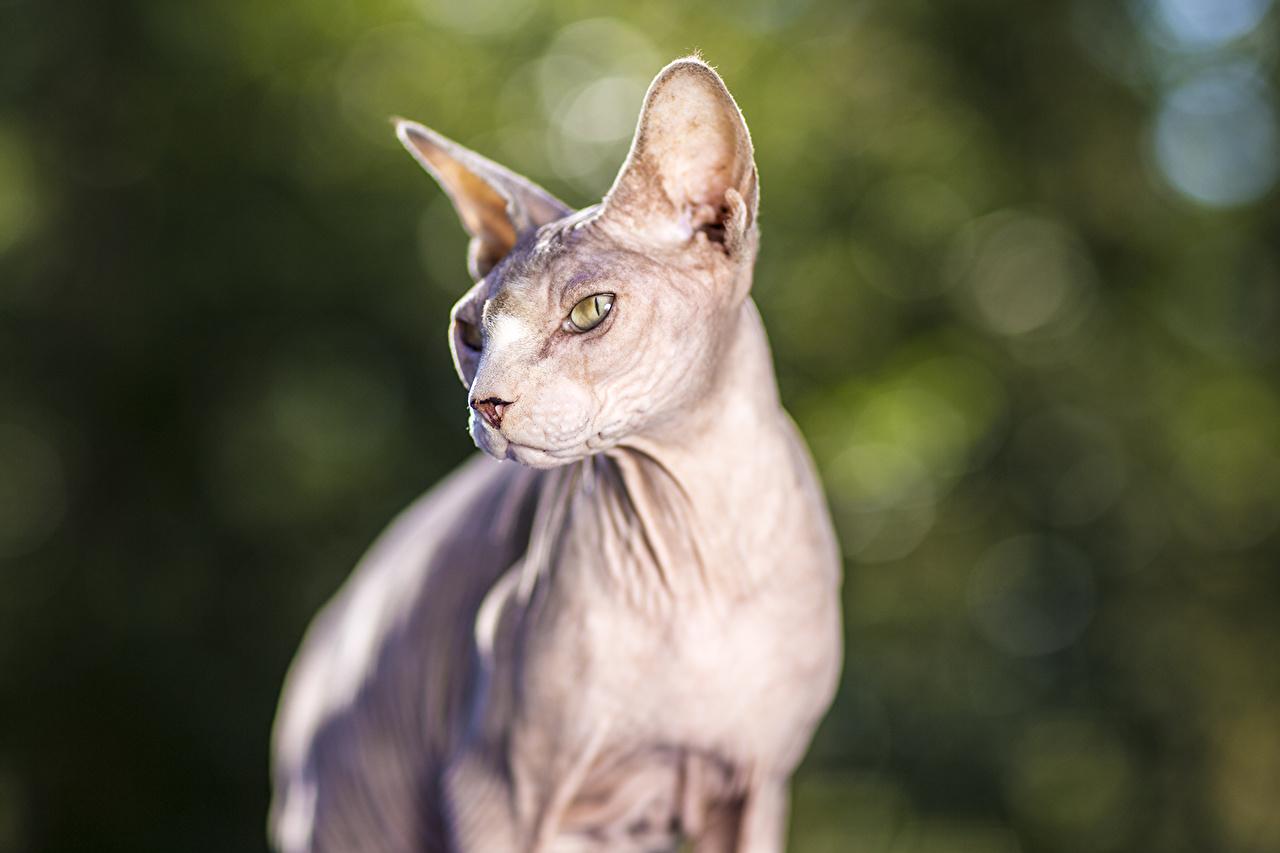 Фото Сфинкс кошка коты Животные кот кошка Кошки животное