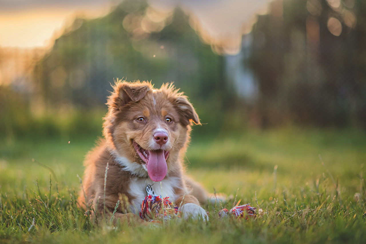 Фотография Австралийская овчарка Собаки Трава Животные