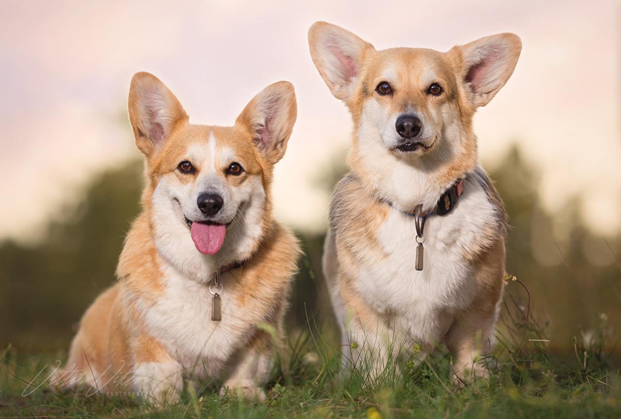 Фотография Вельш-корги Собаки две Язык (анатомия) Взгляд животное собака 2 два Двое вдвоем языком смотрит смотрят Животные