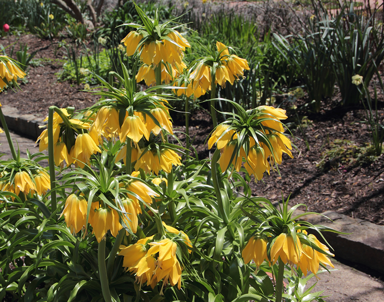 Фотографии желтая цветок Рябчик желтых желтые Желтый Цветы