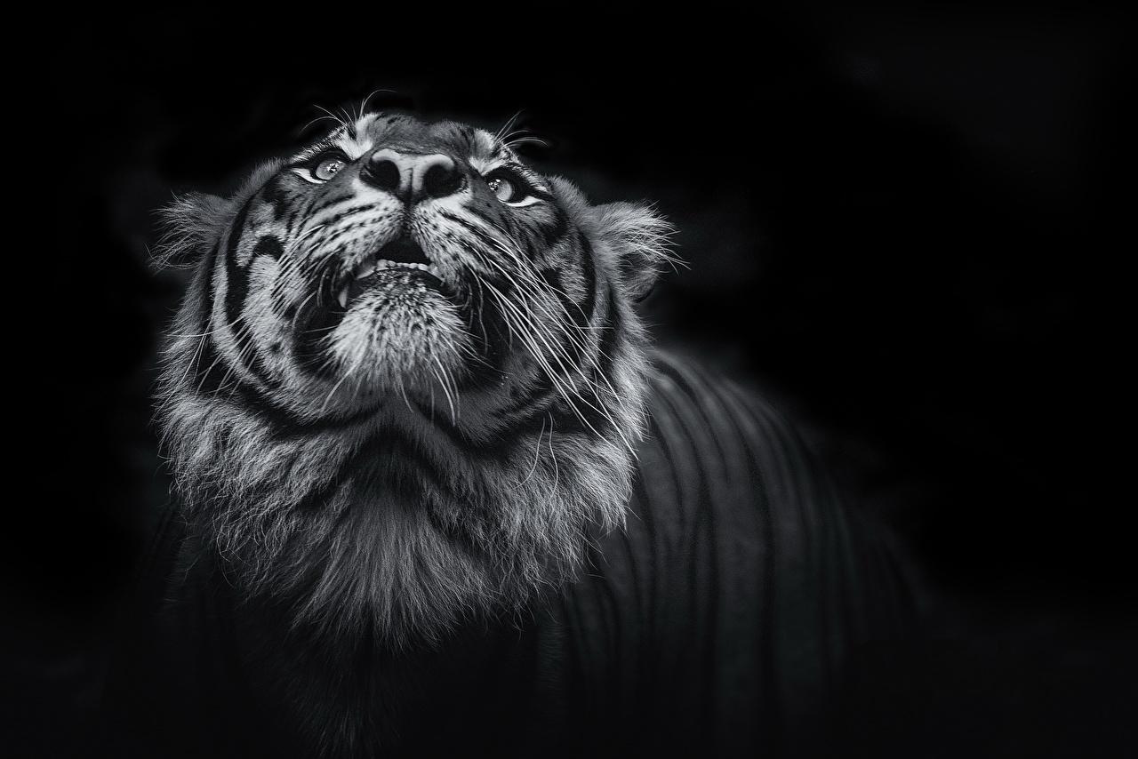 見上げるトラ