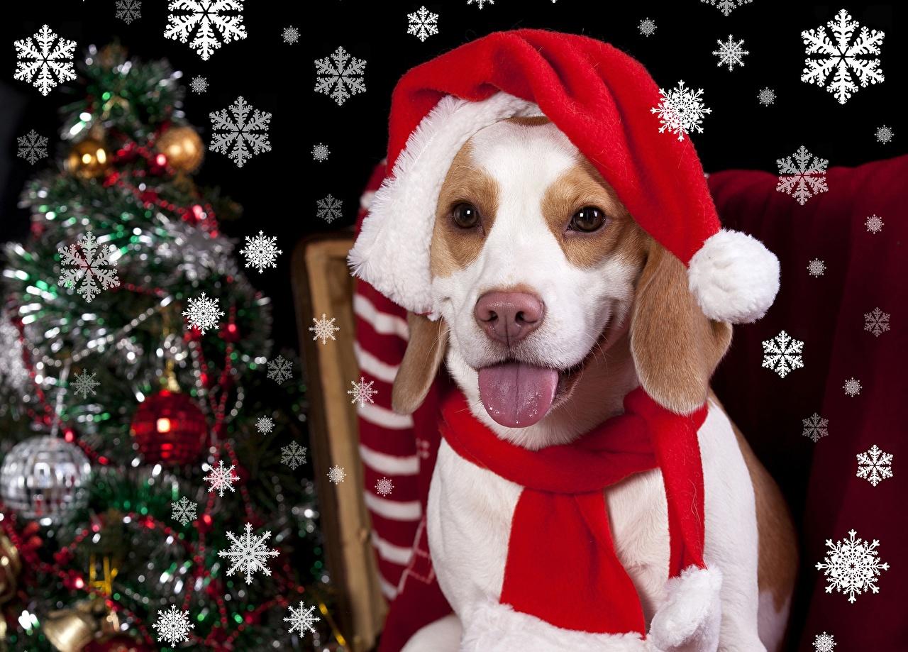 Фотография Бигль Собаки Новый год Снежинки Язык (анатомия) Взгляд Животные бигля собака Рождество языком снежинка смотрит смотрят животное