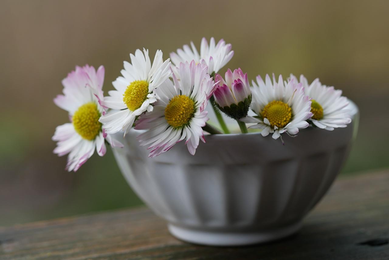 Картинки Размытый фон Цветы Миска Маргаритка боке цветок
