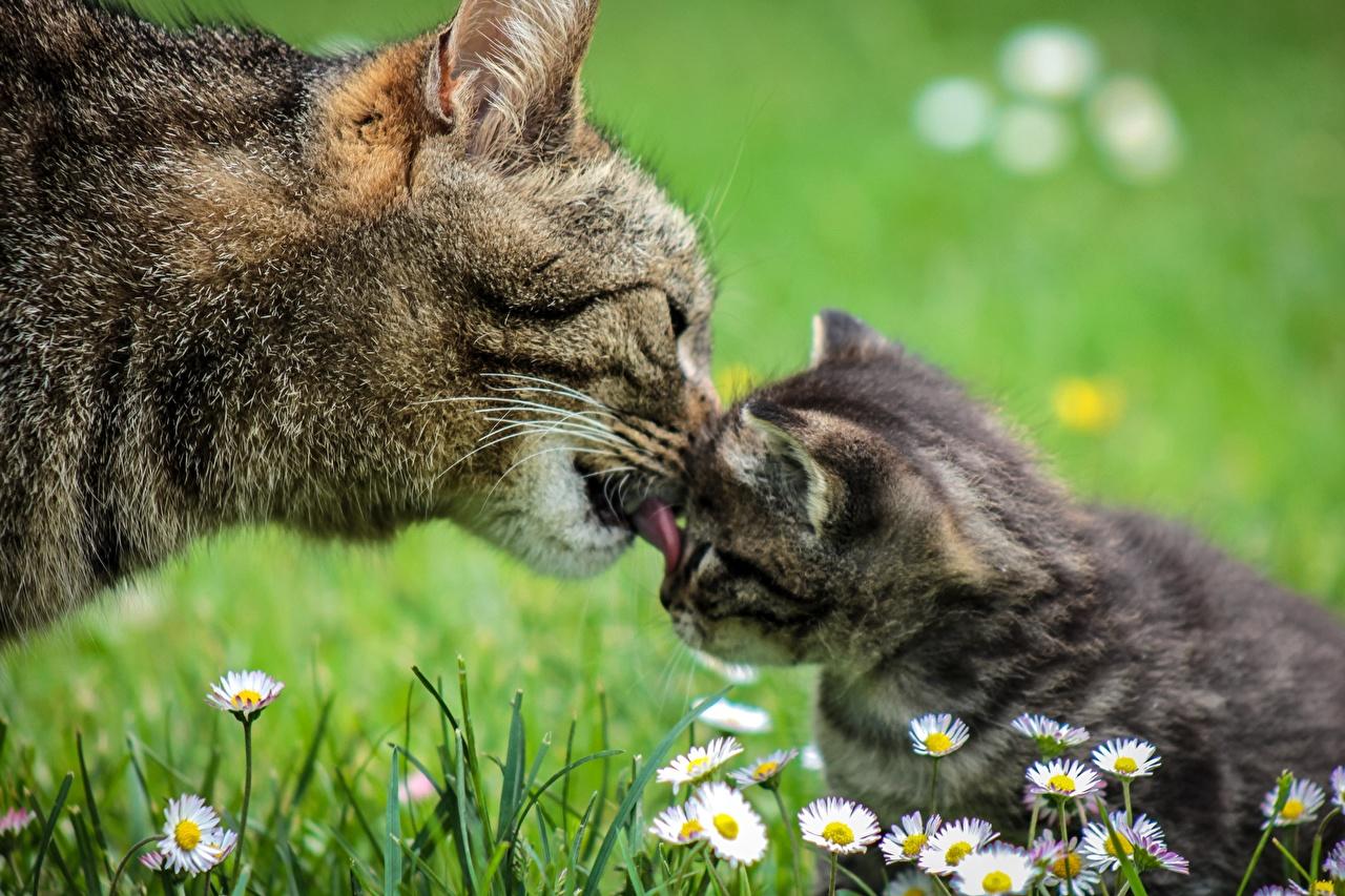 Фотографии Котята кошка 2 Трава животное Крупным планом котят котенок котенка кот коты Кошки два две Двое вдвоем траве вблизи Животные
