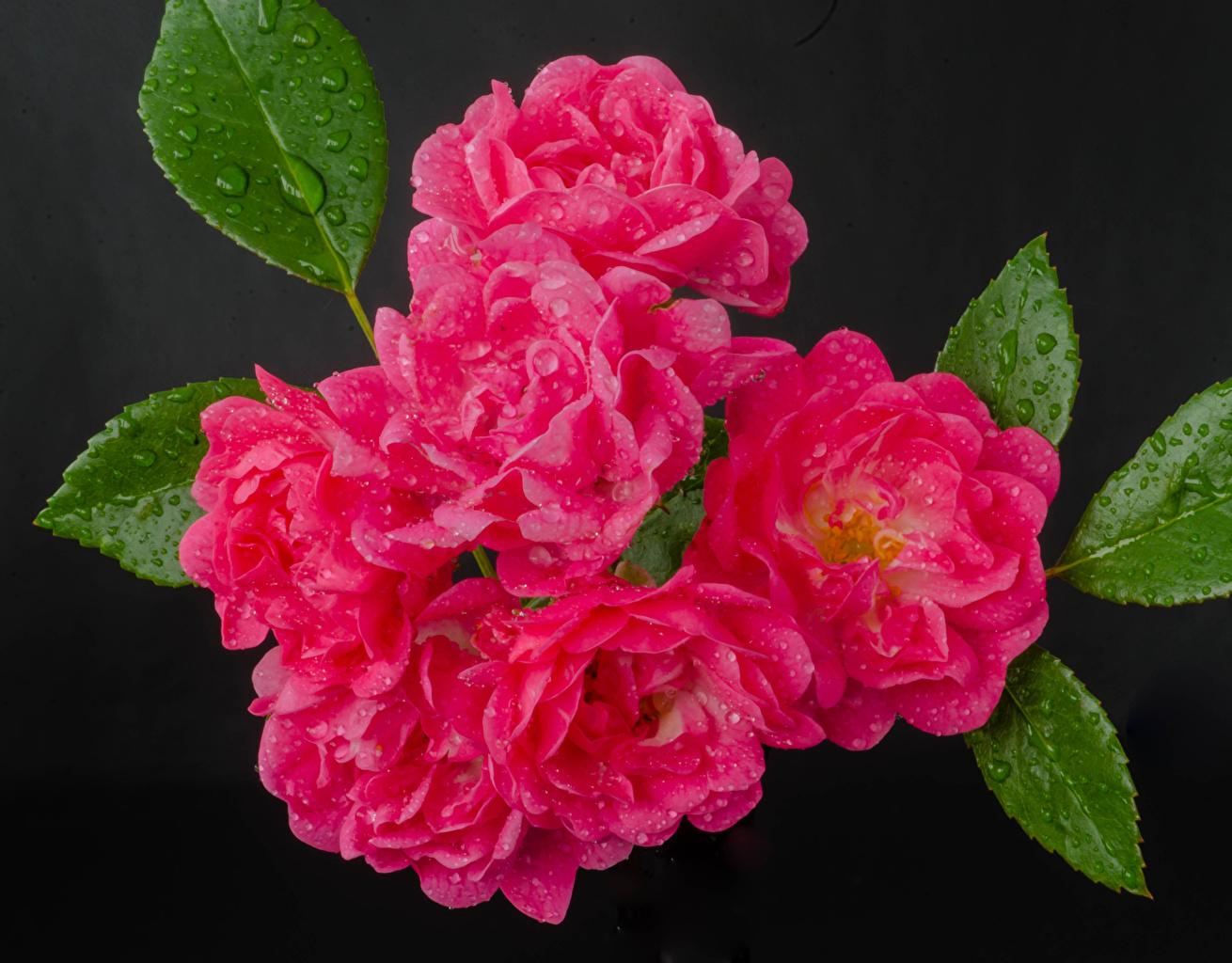 Фотографии Розы розовые Цветы капельки сером фоне Крупным планом роза розовых розовая Розовый капля Капли цветок капель вблизи Серый фон
