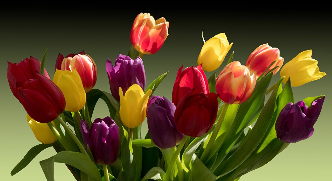 Фото Разноцветные Тюльпаны цветок тюльпан Цветы