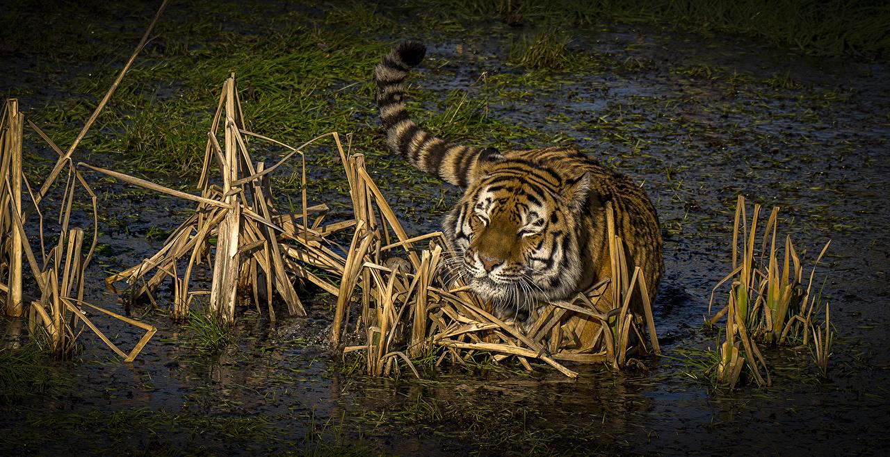 Картинка Тигры Большие кошки Болото Вода Животные тигр болоте болотом воде животное