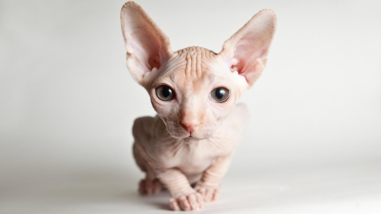 Обои для рабочего стола Сфинкс кошка Кошки морды Взгляд Животные кот коты кошка Морда смотрит смотрят животное