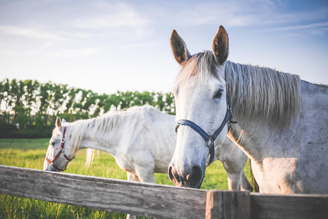 Фото лошадь Двое Белый животное Лошади 2 два две белая белые белых вдвоем Животные