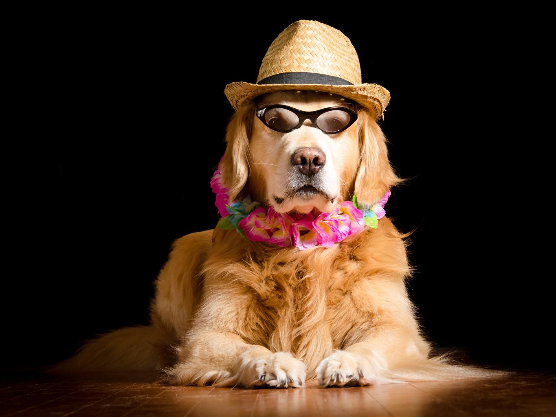 Фото Голден Собаки Шляпа Очки смотрят Животные Черный фон Золотистый ретривер шляпе шляпы очках очков Взгляд смотрит