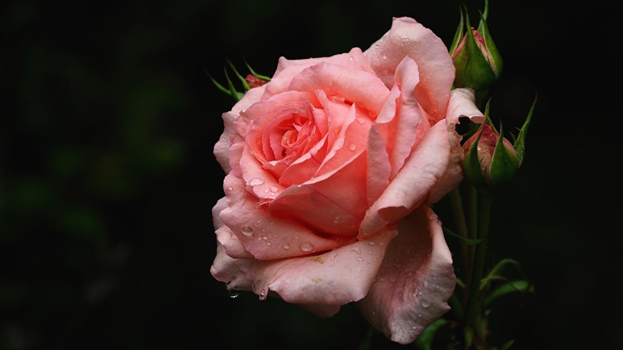 Обои для рабочего стола роза розовая Цветы капель Розы розовых Розовый розовые Капли капля цветок капельки