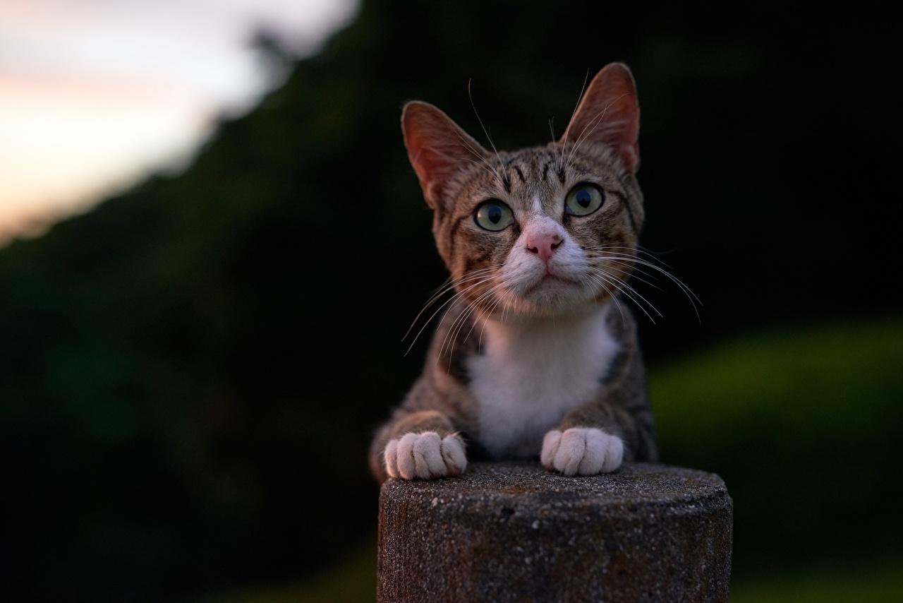 Фотография кот Лапы смотрит Животные коты кошка Кошки лап Взгляд смотрят животное