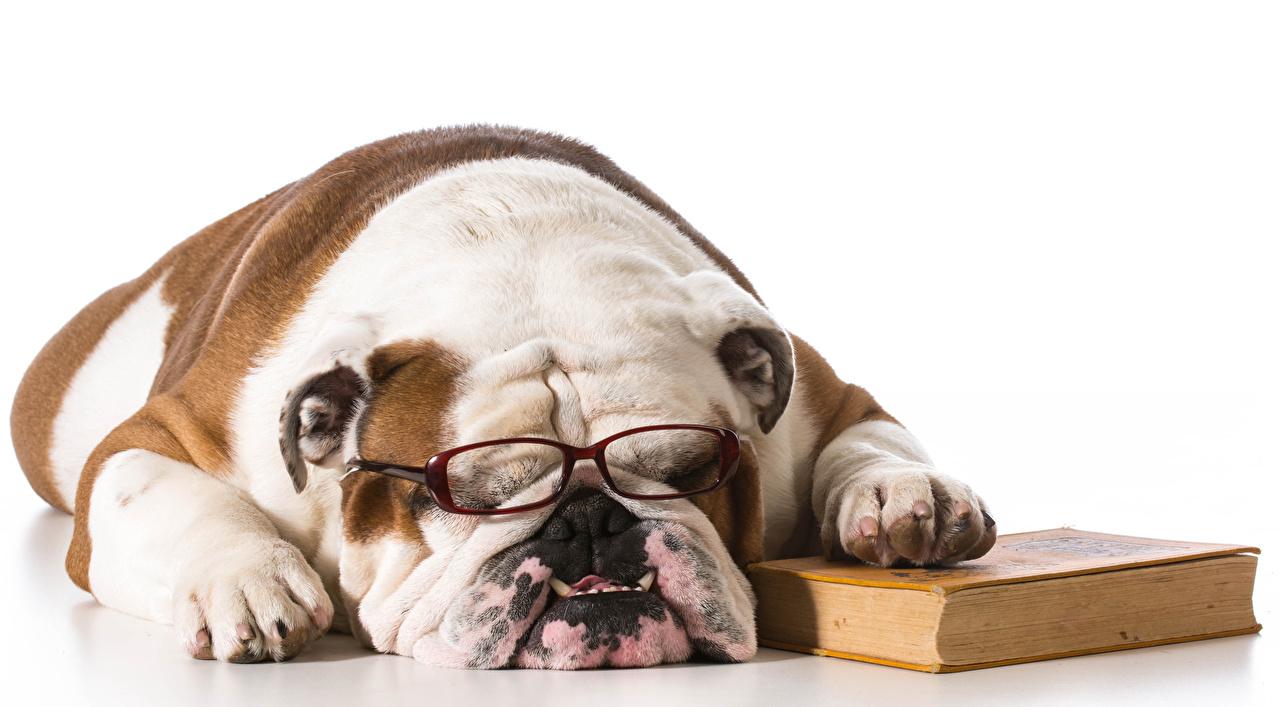 Фото Бульдог Собаки спят Книга очках Морда Животные белом фоне бульдога собака сон Спит спящий Очки книги очков морды животное Белый фон белым фоном