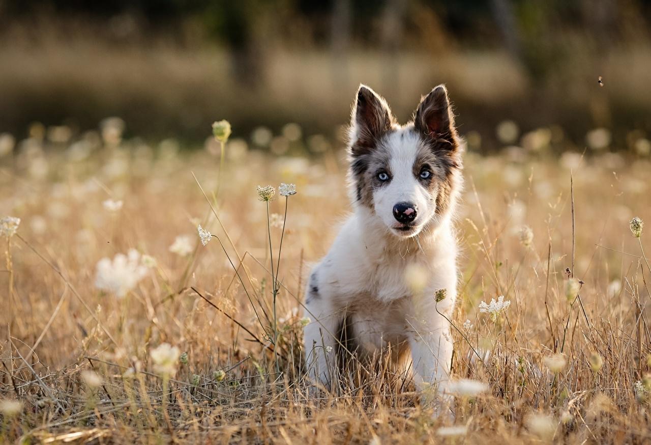 Картинка Щенок Австралийская овчарка Собаки Животные