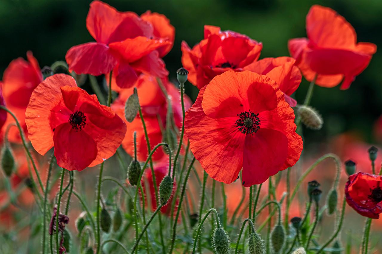 Картинка Размытый фон Маки Цветы вблизи боке мак цветок Крупным планом