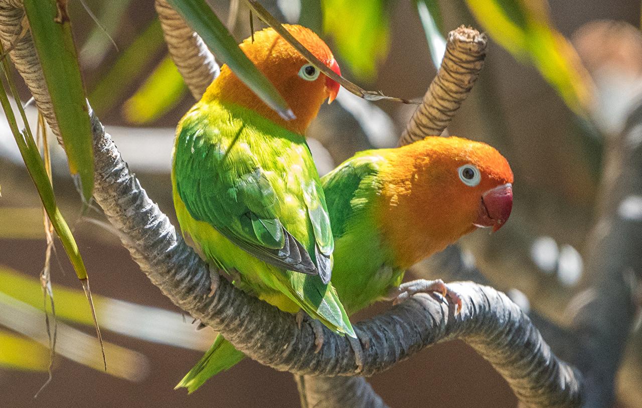 Обои для рабочего стола птица Попугаи два ветвь животное Птицы 2 две Двое вдвоем Ветки ветка на ветке Животные