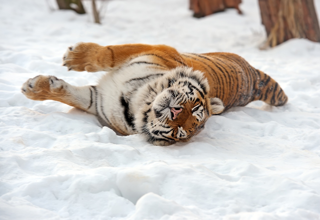 Картинка Тигры Большие кошки Снег Животные