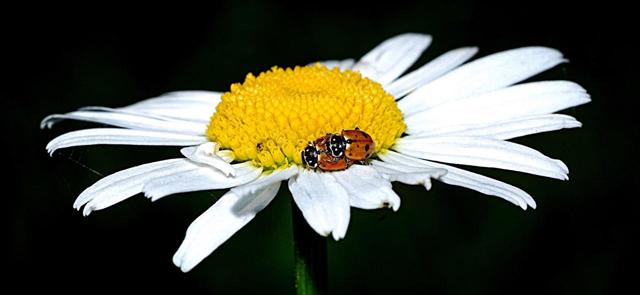 Фотографии Крупным планом Лепестки Цветы Божьи коровки ромашка вблизи лепестков цветок Ромашки