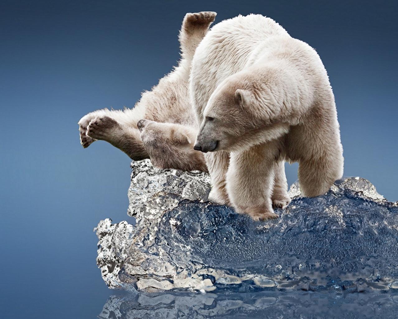 Картинка Белые Медведи Медведи Лед два Животные полярный северный медведь льда 2 две Двое вдвоем животное