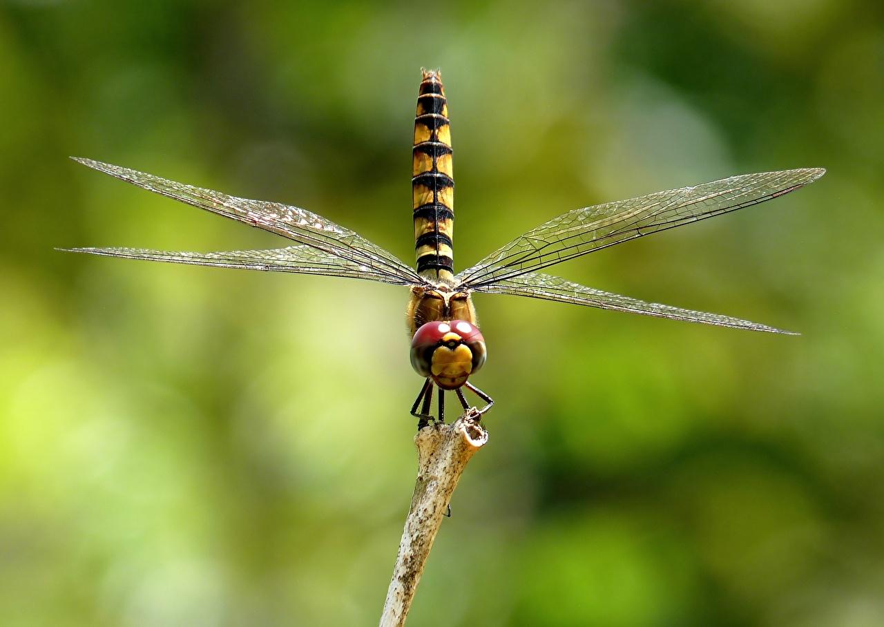 Картинка Стрекозы Насекомые Размытый фон животное Крупным планом насекомое боке вблизи Животные