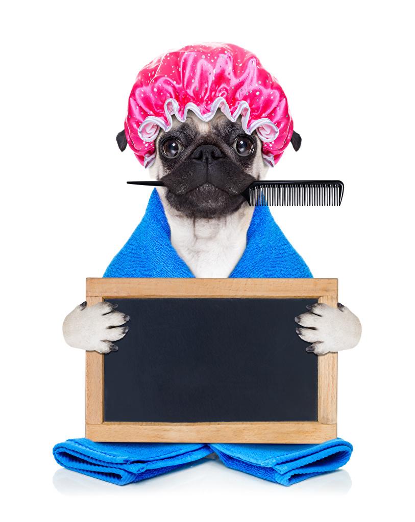Картинка Бульдог собака смешная в шапке животное Белый фон  для мобильного телефона бульдога Собаки смешной Смешные забавные шапка Шапки Животные белом фоне белым фоном