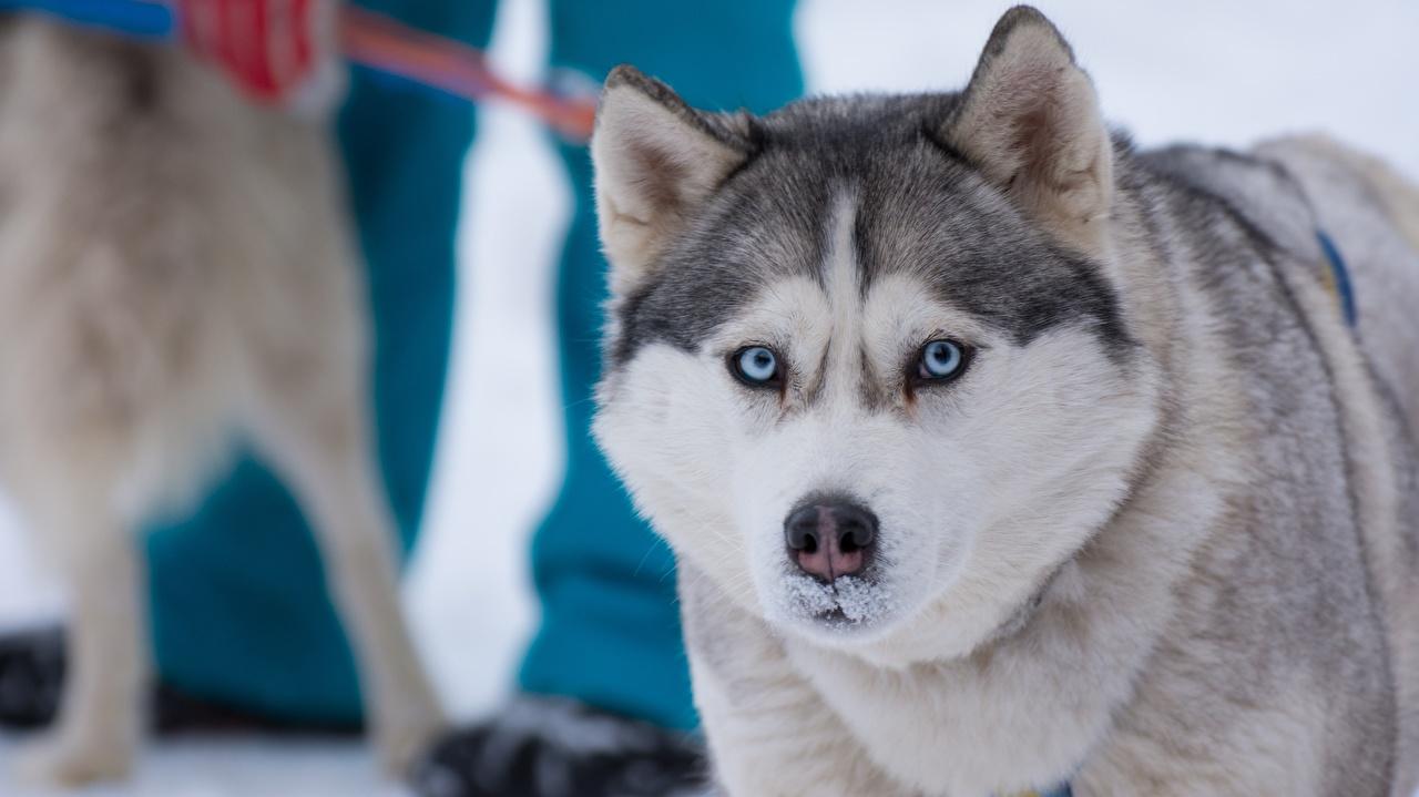 Фото Хаски Собаки Взгляд Животные смотрит