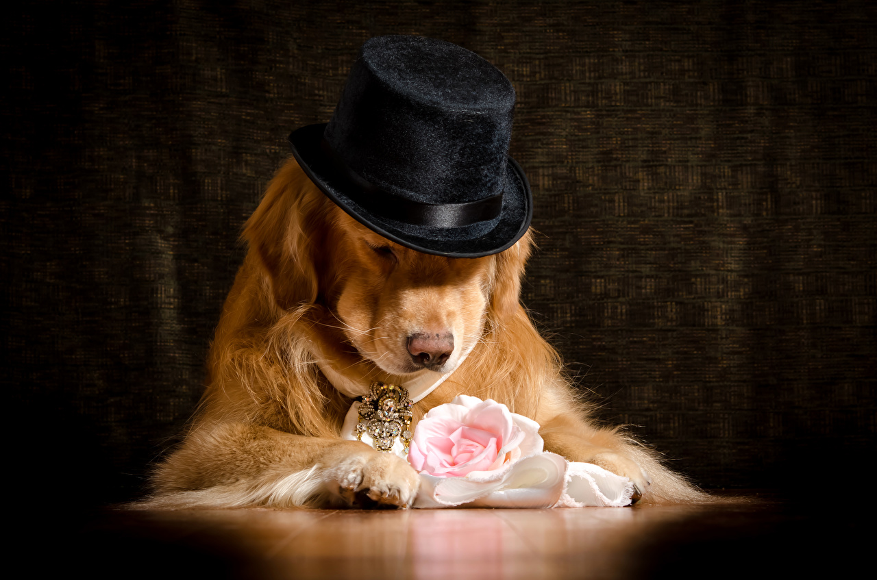 Фотография Голден Собаки Розы шляпе Животные Золотистый ретривер Шляпа шляпы