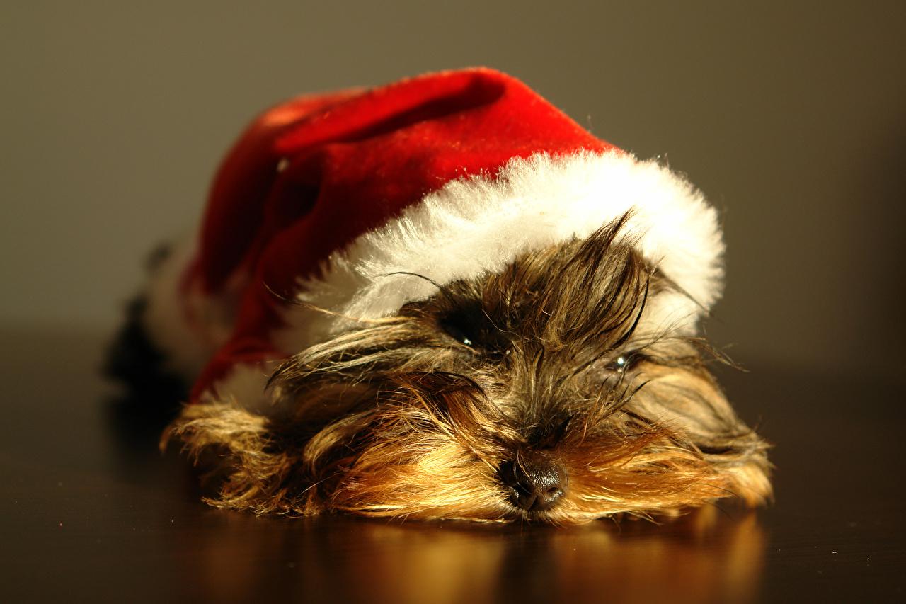 Картинки Щенок Йоркширский терьер собака лежачие шапка животное щенки щенка щенков Собаки лежа Лежит лежат Шапки в шапке Животные