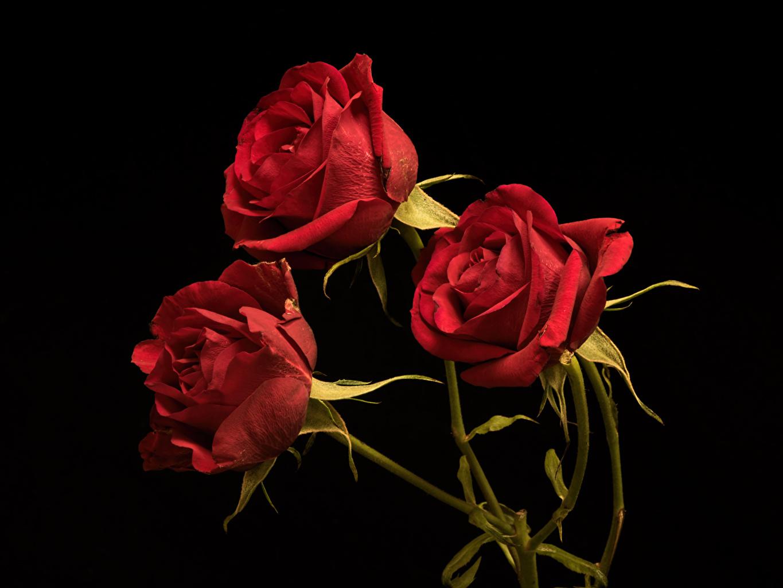 Картинки Розы Красный цветок Трое 3 на черном фоне роза красных красная красные Цветы три втроем Черный фон