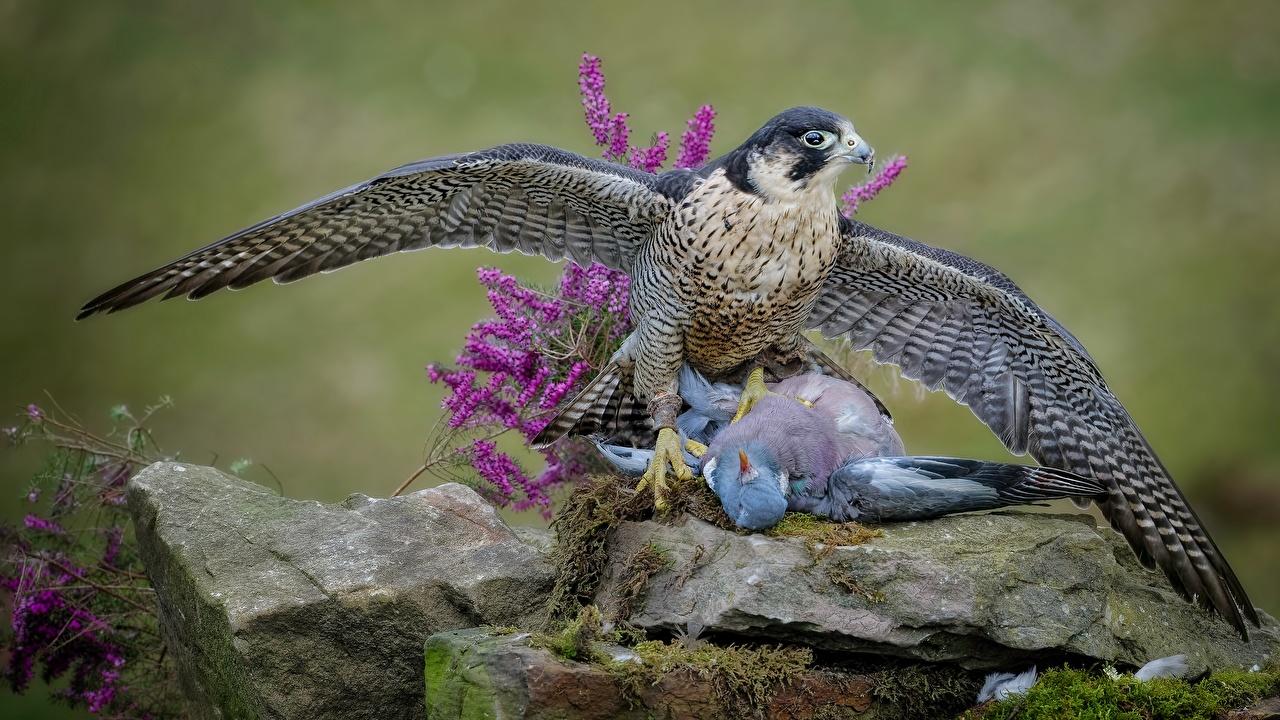 Фотография Птицы Голуби Ястреб Мертвец охотится животное птица голубь Мертвый труп Охота охоте Животные