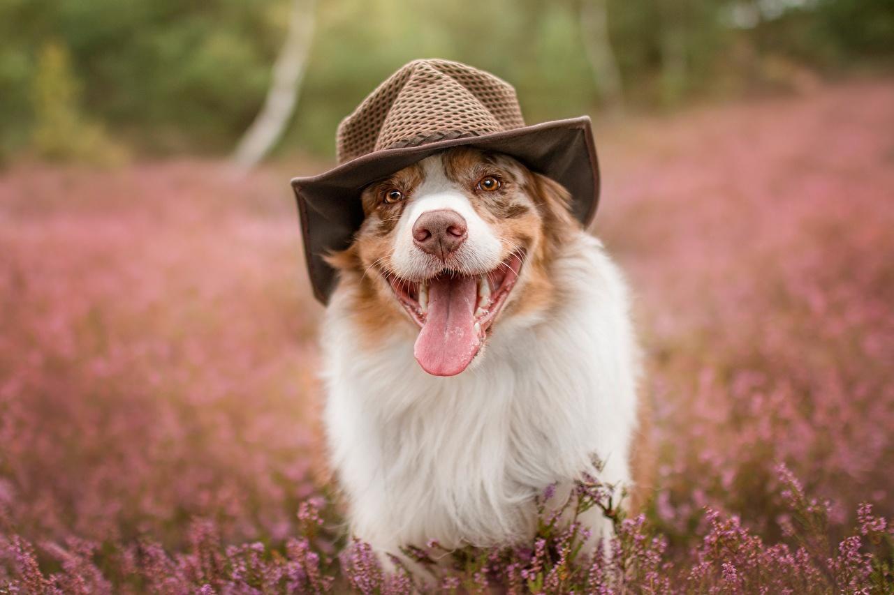 Фотография Австралийская овчарка Собаки Смешные Шляпа Язык (анатомия) Животные забавные шляпе шляпы