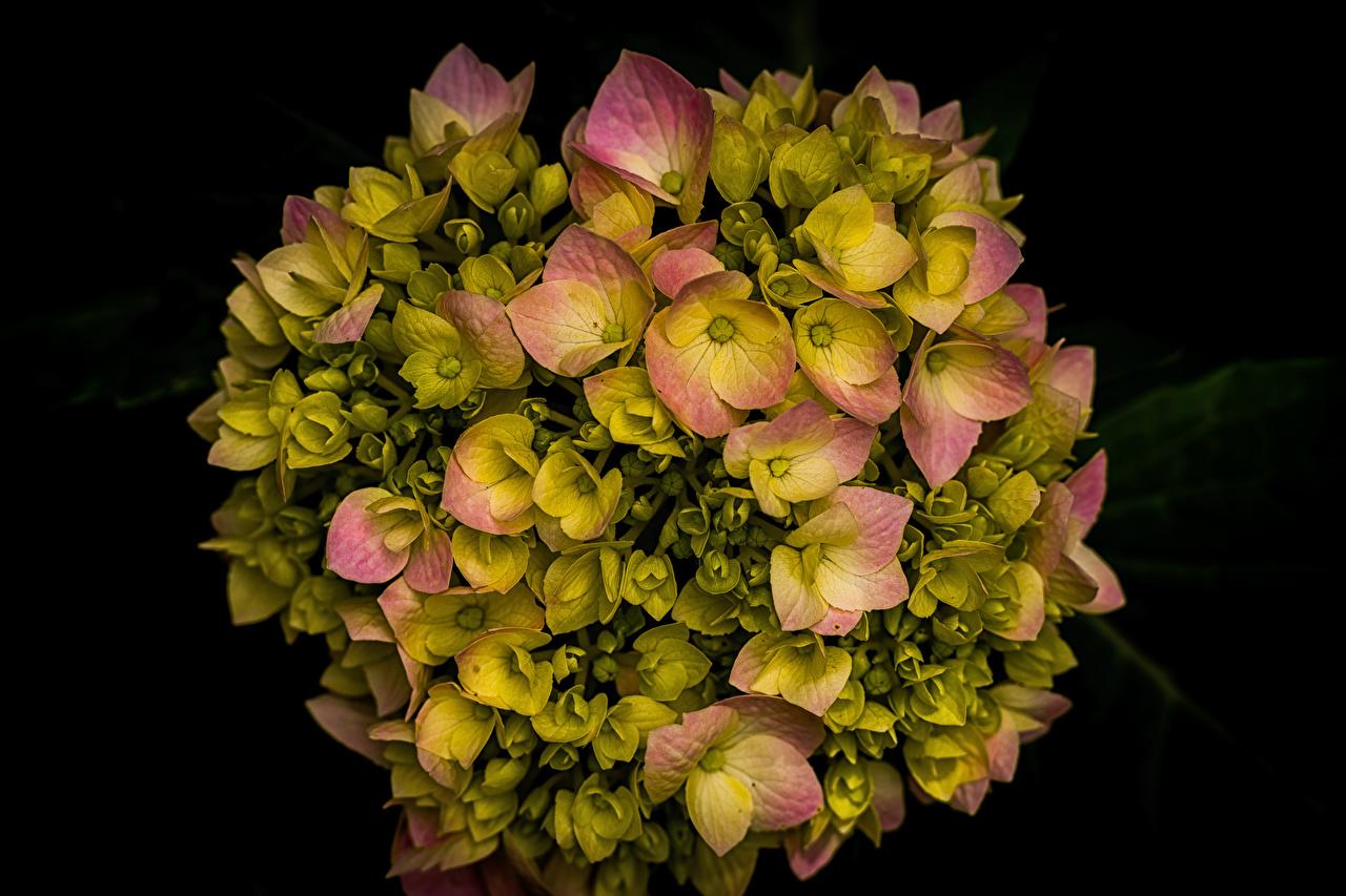 Картинки цветок Гортензия вблизи Черный фон Цветы на черном фоне Крупным планом