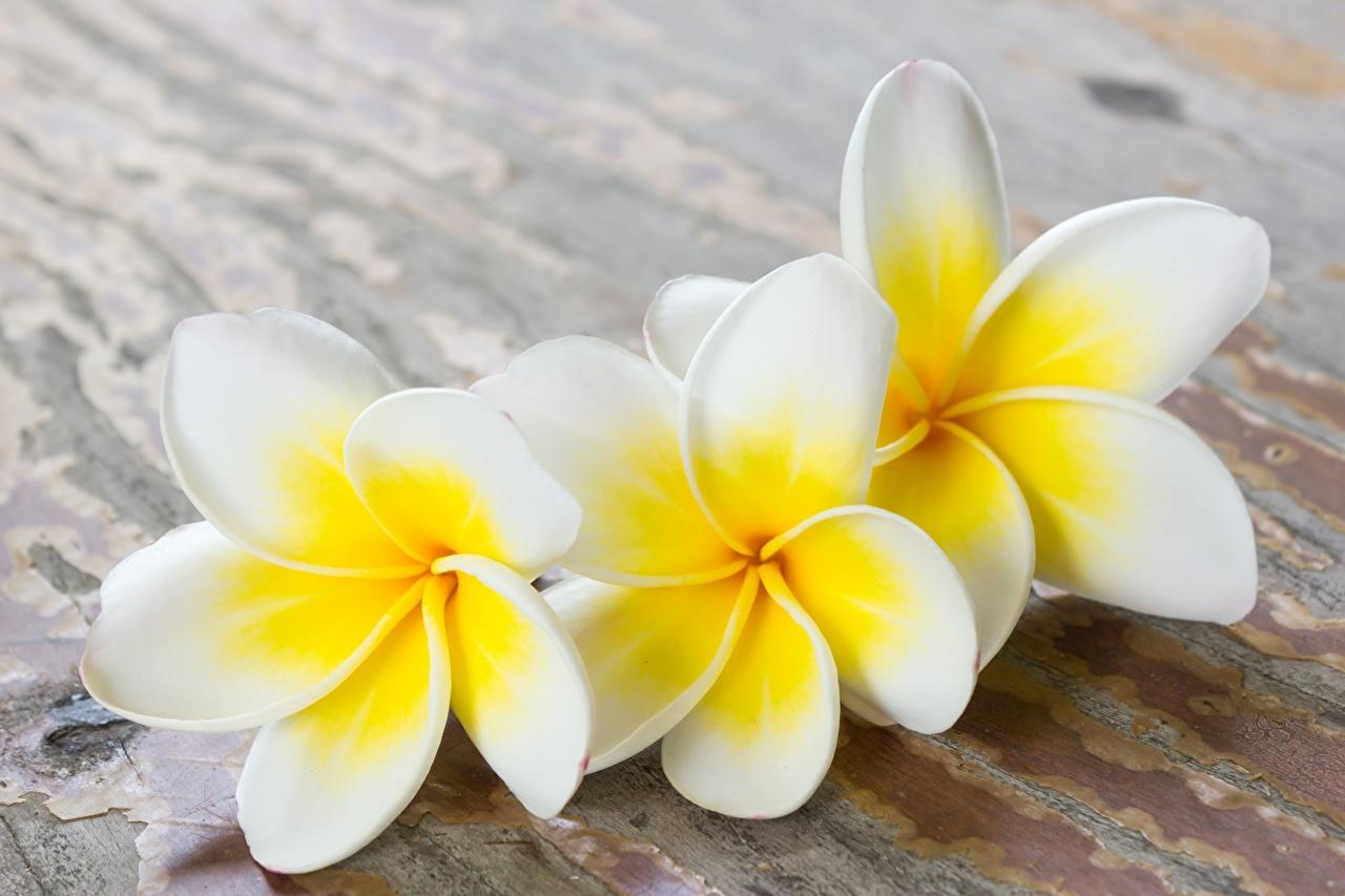 Фотография Белый Цветы Плюмерия втроем белая белые белых цветок три Трое 3