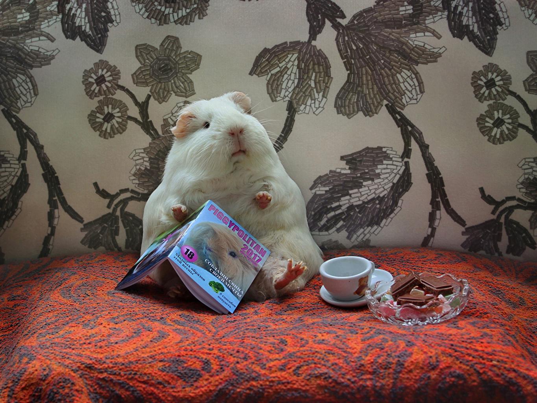 Фотография Морские свинки Конфеты Журнал Чашка Животные чашке животное