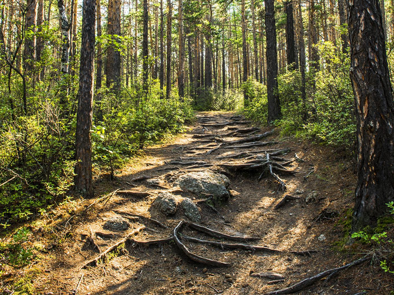 Фотография Сибирь Россия Baikal Природа тропинка Леса Камень Деревья Тропа тропы лес Камни дерево дерева деревьев