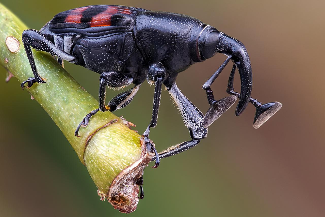 Обои для рабочего стола Жуки насекомое weevil вблизи животное Насекомые Животные Крупным планом