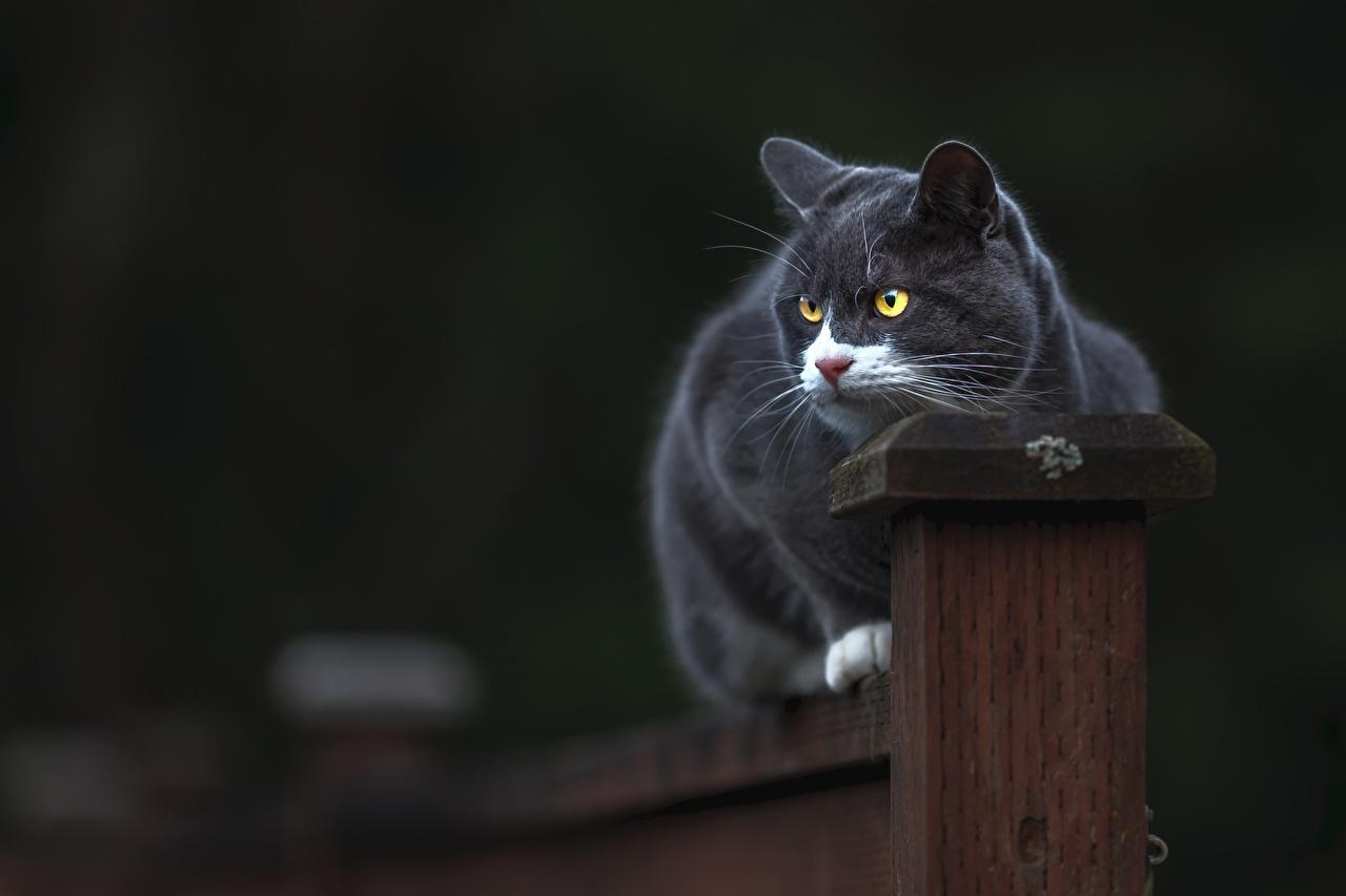 Картинка Коты Серый Животные Кошки