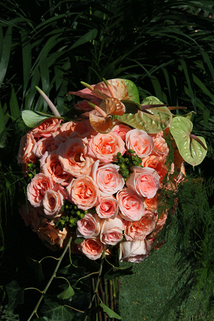 Картинки Розы Розовый цветок Антуриум роза розовых розовая розовые Цветы