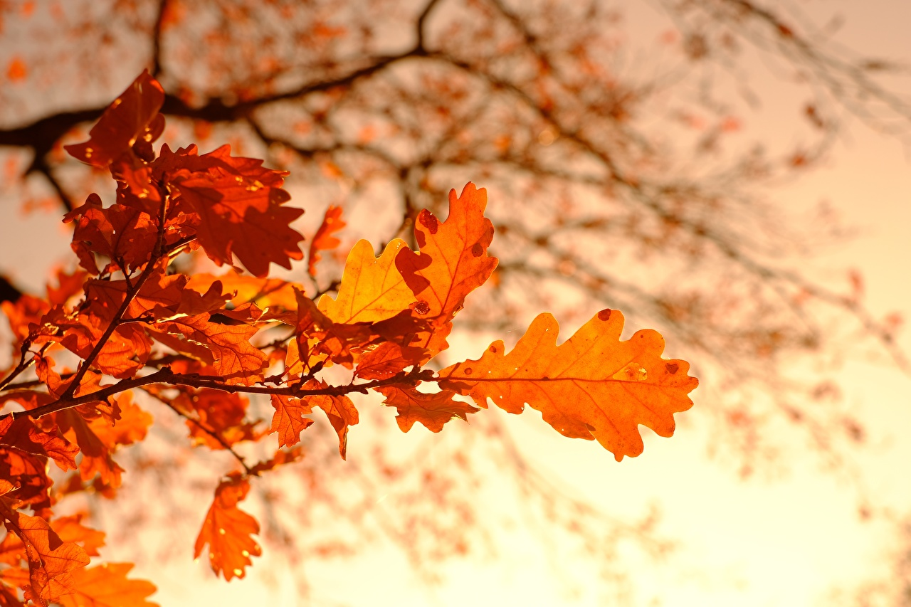 Фотография Листья боке Дуб Осень Природа ветвь лист Листва Размытый фон осенние Ветки ветка на ветке