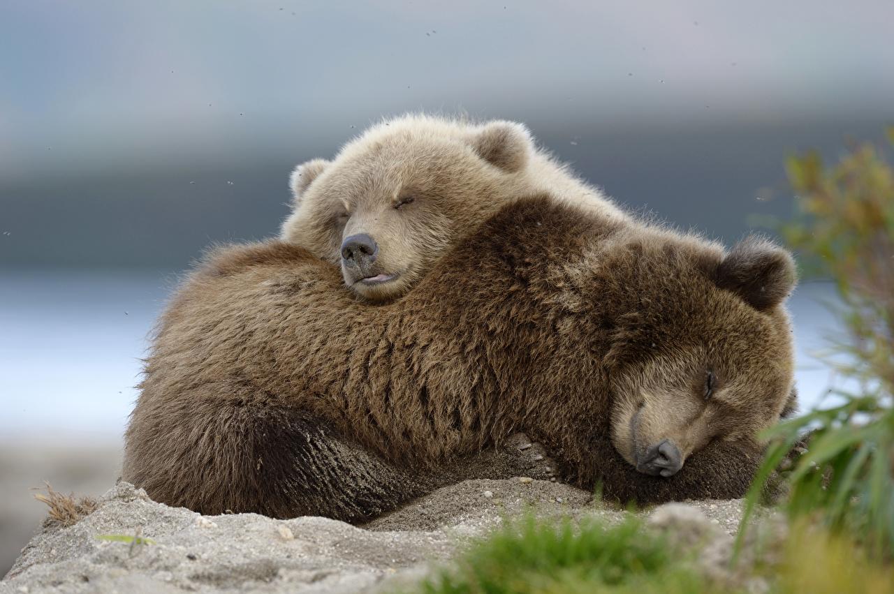 Картинка Бурые Медведи Детеныши лежат Милые спят вдвоем животное Гризли лежа Лежит лежачие милая милый Миленькие 2 два две сон Двое Спит спящий Животные