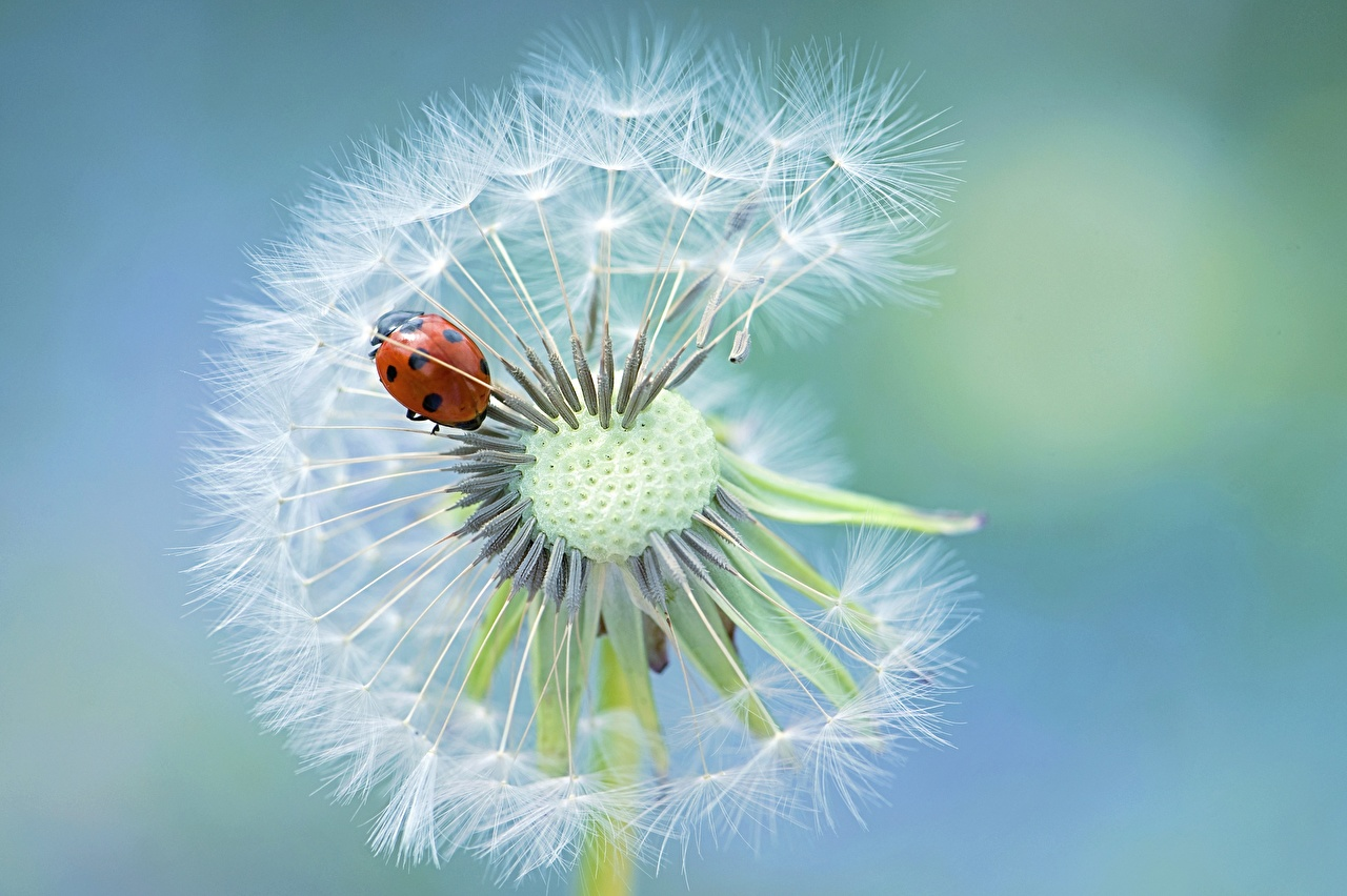 Картинка Божьи коровки Jacky Parker цветок Одуванчики Крупным планом Цветы вблизи