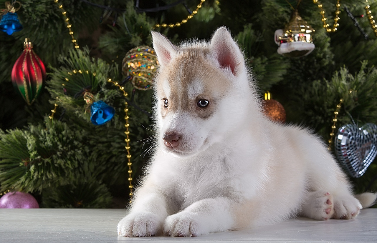 Фото Щенок Хаски Собаки животное щенки щенка щенков собака Животные