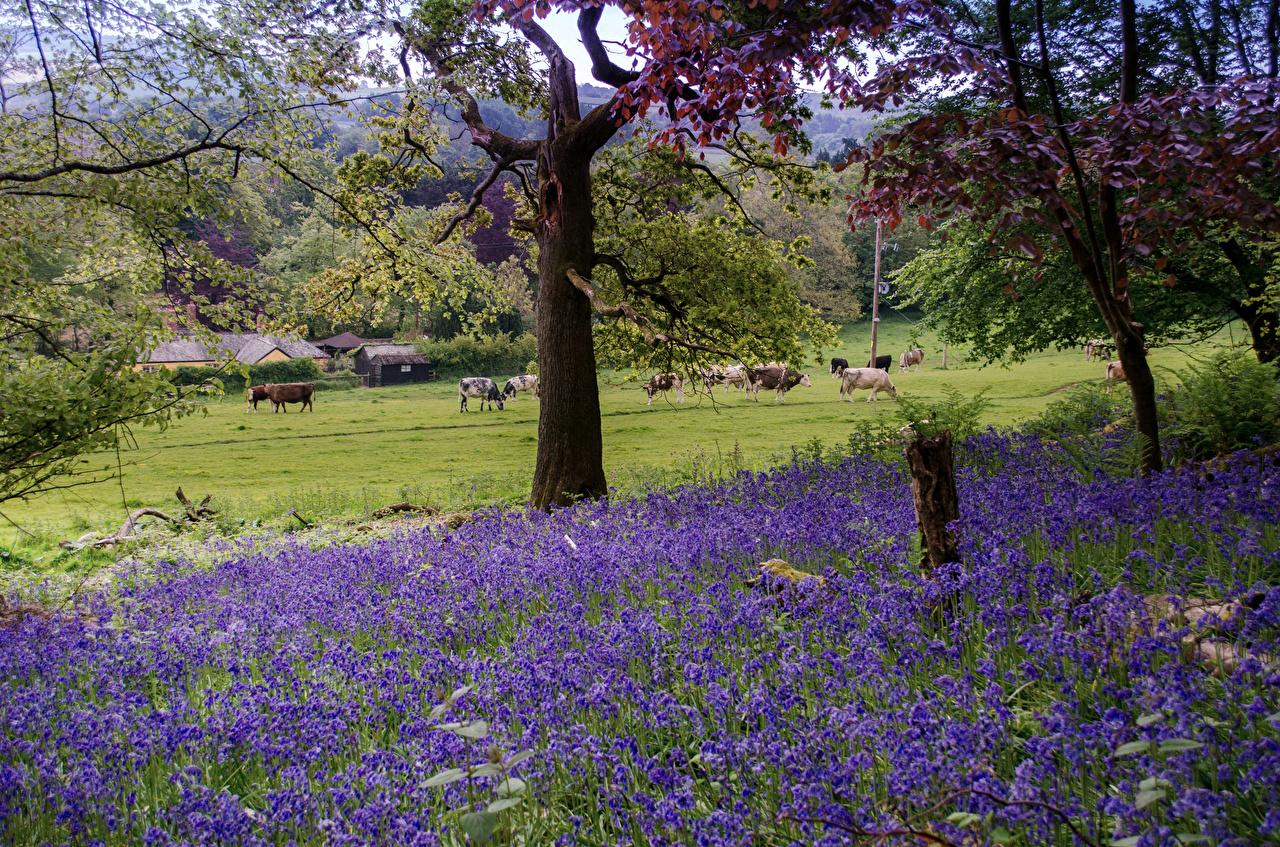 Фотография Корова Великобритания East Devon District Природа Луга Колокольчики - Цветы Деревья коровы дерево дерева деревьев