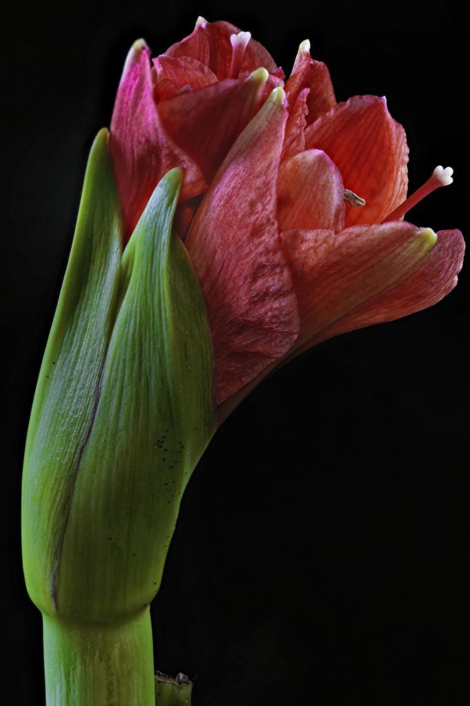 Картинки Цветы Амариллис Черный фон Крупным планом  для мобильного телефона цветок вблизи на черном фоне