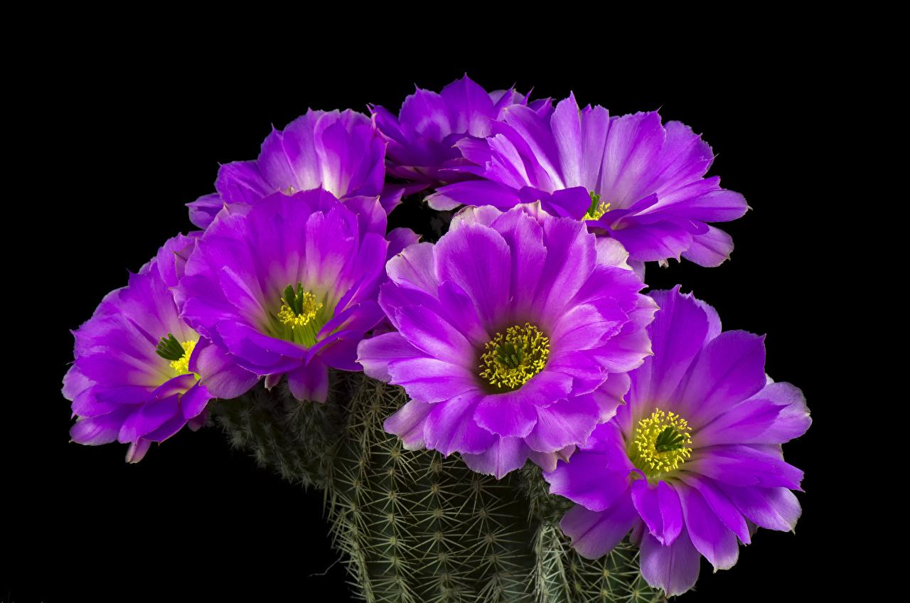 Картинки Фиолетовый Цветы Кактусы вблизи на черном фоне фиолетовая фиолетовые фиолетовых цветок Черный фон Крупным планом