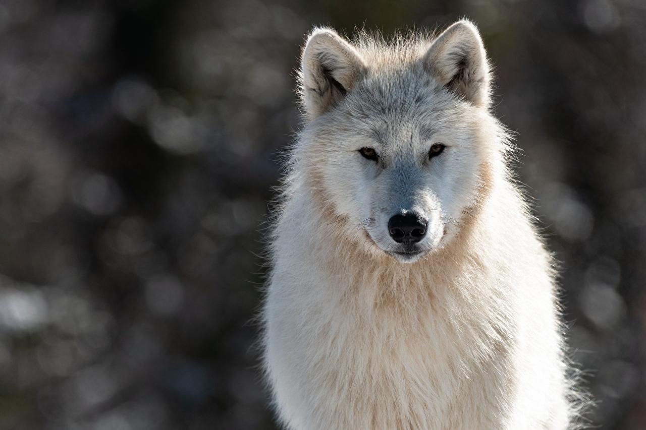 Обои для рабочего стола волк Canis lupus tundrarum белые морды смотрят животное Волки белая Белый белых Морда Взгляд смотрит Животные