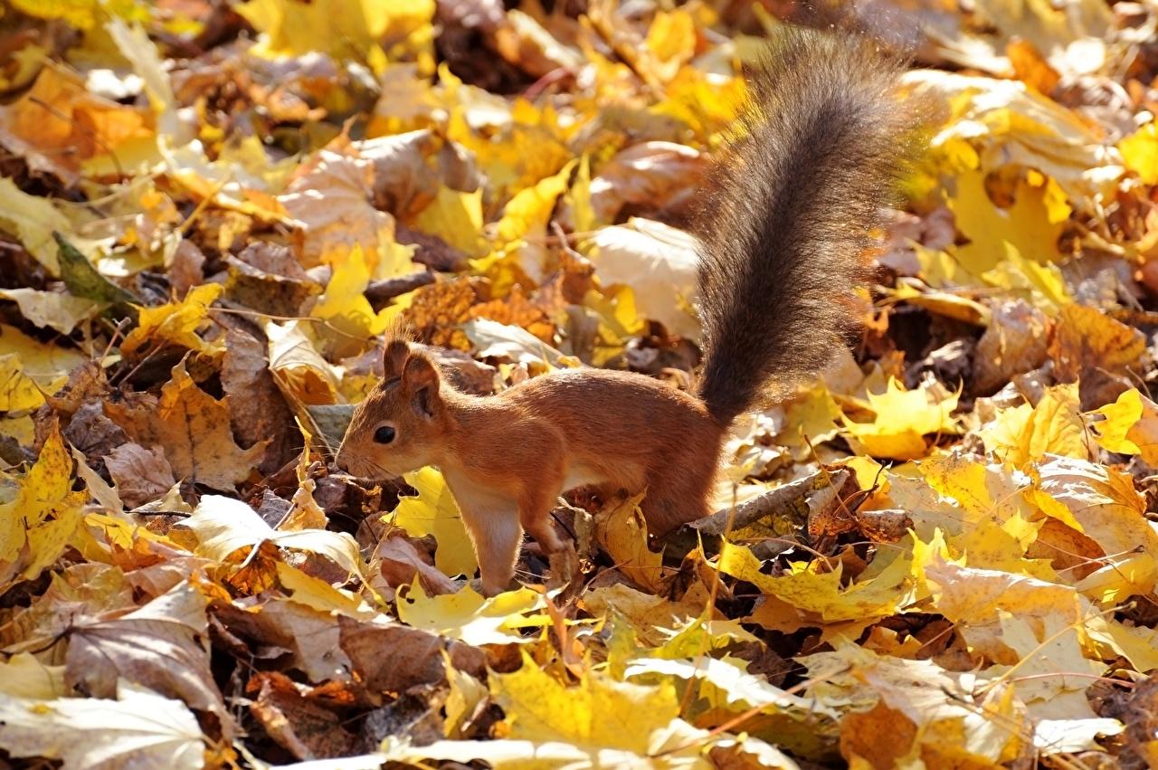Фотография Белки Листья осенние хвоста Животные белка лист Листва Осень Хвост животное