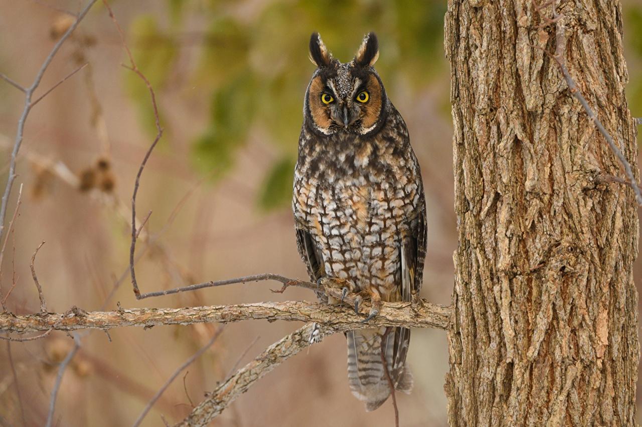 Картинка совы Птицы Long Eared Owl ветка смотрит животное сова птица Совообразные ветвь Ветки на ветке Взгляд смотрят Животные