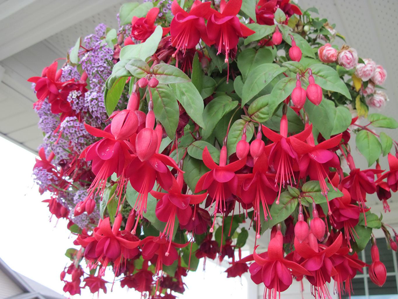 Картинка красная цветок Фуксия Крупным планом красных красные Красный Цветы вблизи