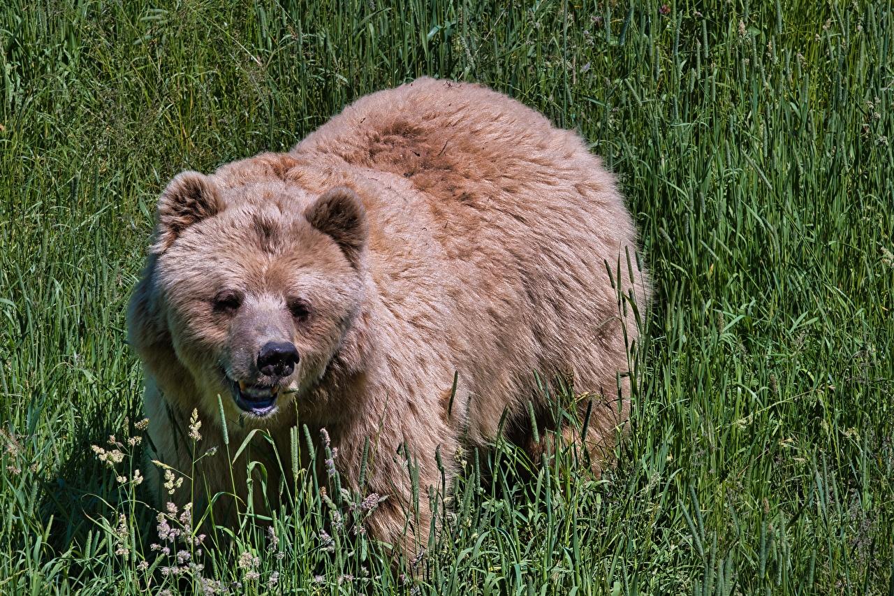 Картинки Бурые Медведи Медведи Трава Взгляд Животные Гризли медведь траве смотрит смотрят животное